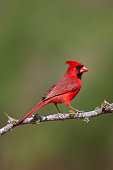 Male cardinal perched on branch