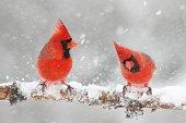 Male Northern Cardinals (cardinalis cardinalis) in a snowy scene