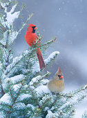 Northern Cardinals, male and female, perched together on a winter spruce tree