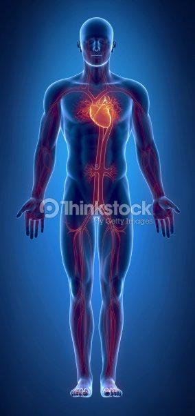 Sistema Cardiovascular Con Una Cálida Corazón Foto de stock | Thinkstock