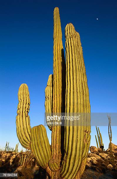 Cardon cactus, La Paz, Baja California Sur, Mexico, Central America & the Caribbean