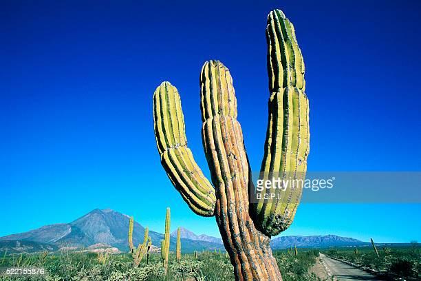 Cardon Cactus near Mountains