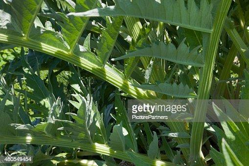 Cardoon plant : Stock Photo