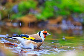 Carduelis carduelis bathing in puddles forest,autumn colored bird, unique moment,