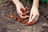 Planting flower bulbs (tulip) in the garden in autumn
