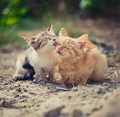 One kitten carefully washes the groom and the second kitten in a sunny summer day