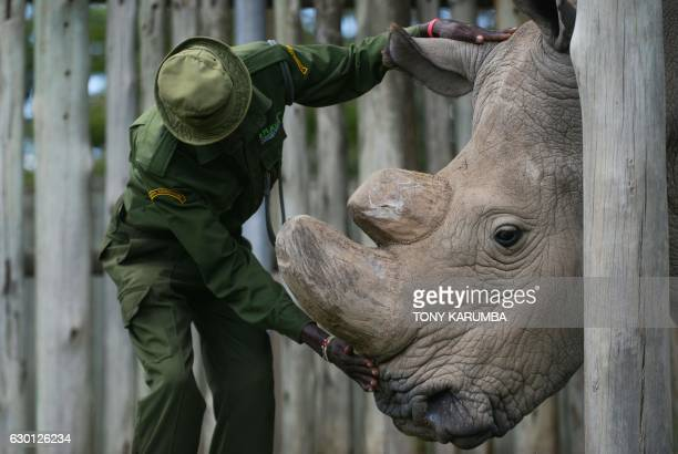 A caregiver calms Sudan the last known male of the northern white rhinoceros subspecies on December 5 at the Ol Pejeta conservancy in Laikipia County...