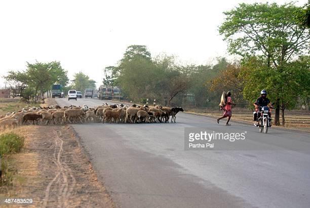 Caretaker of Sheep,Rural India