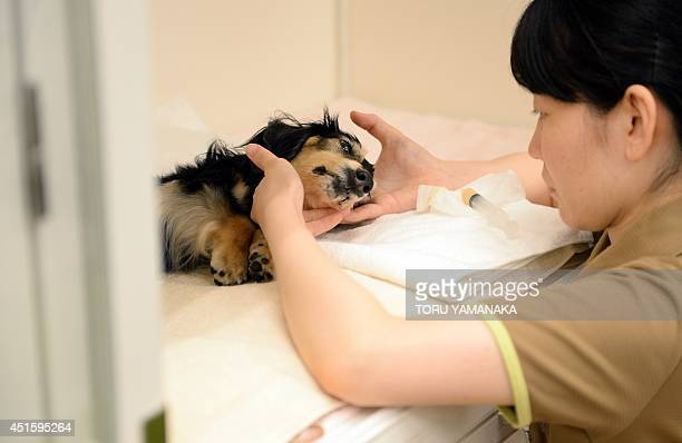 A caretaker takes care of a 12yearold bedridden female dog at a home for ageing pets where a vet is on call 24 hours a day and animals are kept...