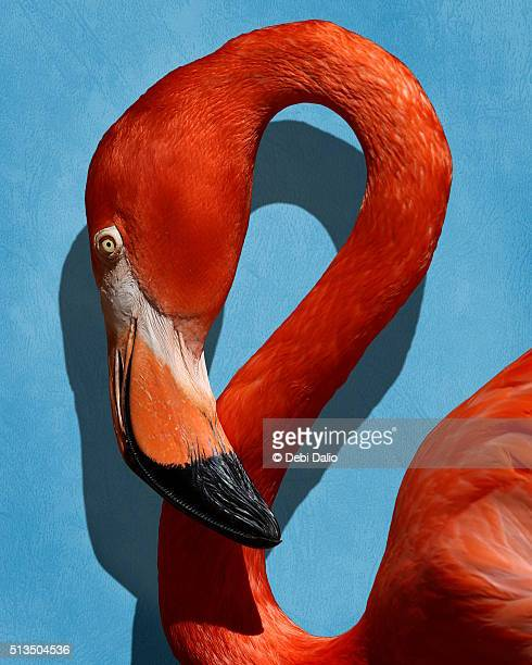 Caribbean Flamingo Curved Neck and Head Profile Close-up