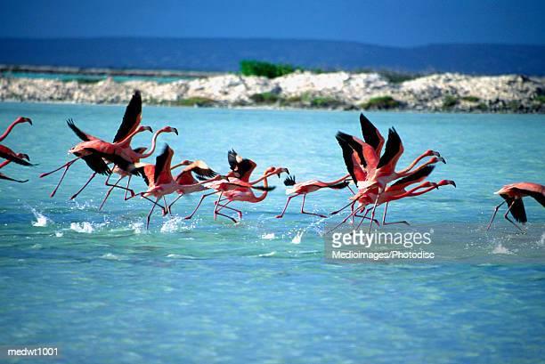 Caribbean Flamingos preparing to take off in flight at Bonaire, Netherlands Antilles