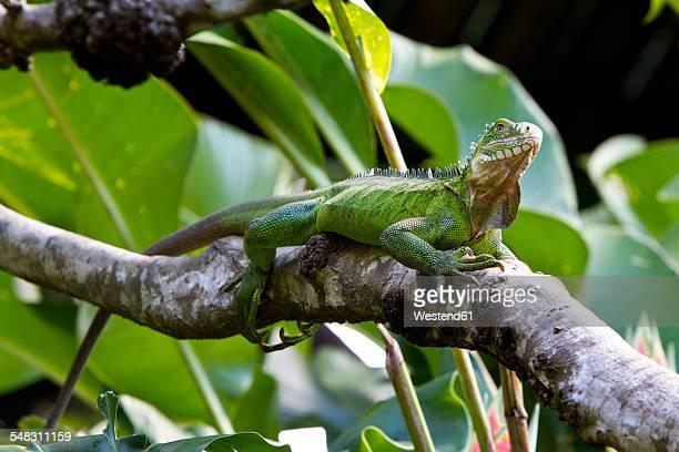 Caribbean, Guadeloupe, Grande-Terre, Green Iguana, Iguana iguana, perching on branch