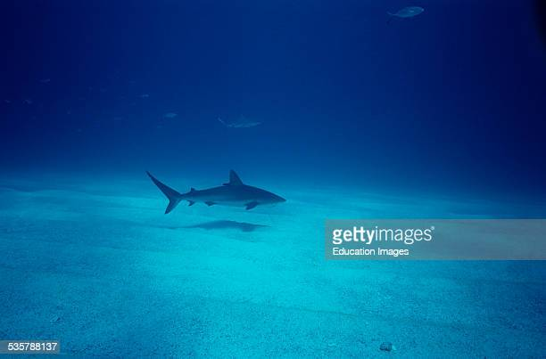 Caribbean Reef Shark Carcharhinus perezi The body length may be up to 295 meters and are by far the most common shark species Shark Rodeo Walkers Cay...