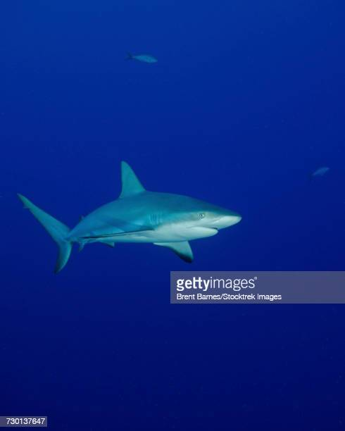 A Caribbean reef shark (Carcharhinus perezii) in the Turks and Caicos.