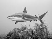 A Caribbean Reef Shark