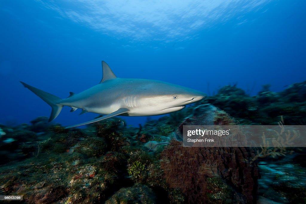 Caribbean reef shark (Carcharhinus perezi) : Stock Photo