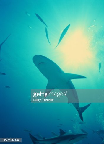 Caribbean reef shark (Carcharhinus perezi), underwater view, Bahamas : Stock Photo