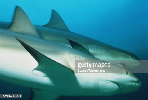 Caribbean reef sharks [Carcharhinus perezi], Bahamas : Stock Photo