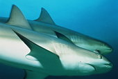 Caribbean reef sharks [Carcharhinus perezi], Bahamas