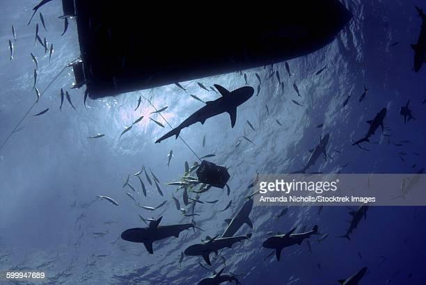 Caribbean reef sharks circling a dive boat, Nassau, The Bahamas.