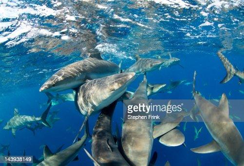 Caribbean Reef Sharks (Carcharhinus perezi) : Stock Photo