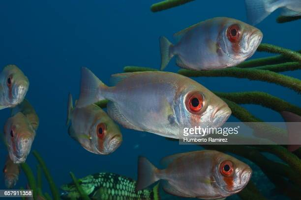 Bigeye fish stock photos and pictures getty images for Caribbean reef fish