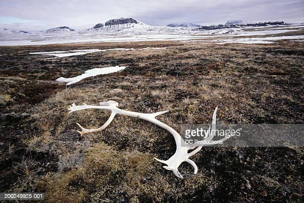 Caribou antler laying on ground, Tundra, Baffin Island, Canada