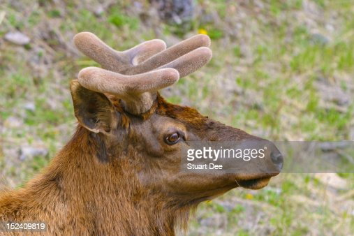 Caribou (reindeer) , Banff, Alberta, Canada : Stock Photo