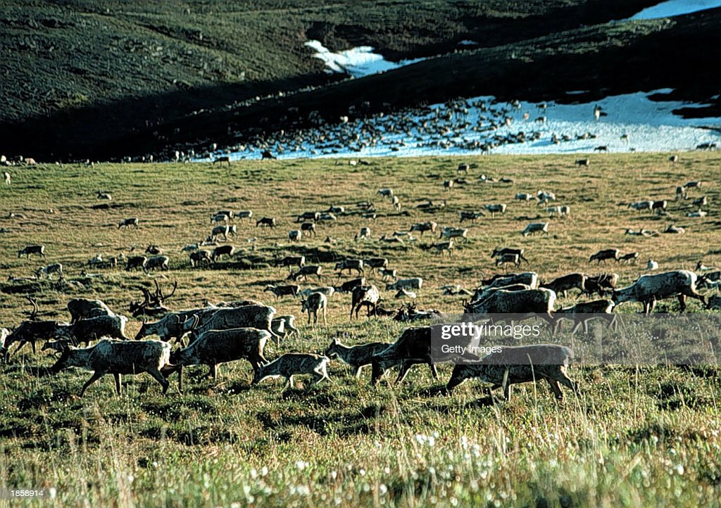 Caribou graze in the Arctic National Wildlife Refuge in Alaska in this undated file photo The US Senate voted not to allow drilling for oil in the...