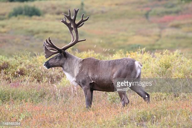 Caribou de Denali à l'automne