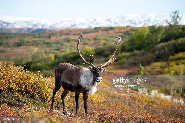 Caribou in Fall