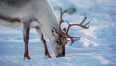 caribous (reindeer) in a winter scenery.