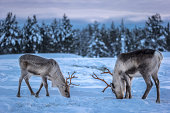 Two caribous (reindeers) in a winter scenery.