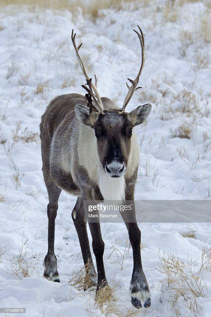 Caribou walking through snow : Stock Photo