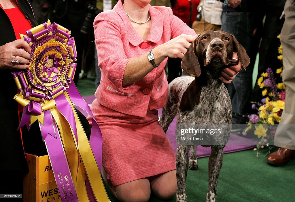 Carlee a German Shorthaired Pointer is posed for photographers after winning the Westminster Kennel Club Dog Show's Best In Show award at Madison...