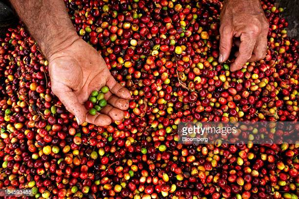 Carlos Hernan Rueda removes green unripened coffee berries or cherries on his plantation in Socorro Colombia on Thursday Sept 23 2010 Colombian...