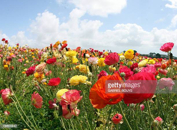 View of the Flower Fields in Carlsbad North of San Diego California 15 April 2007 The nearly fifty acres of Giant Tecolote Ranunculus flowers that...