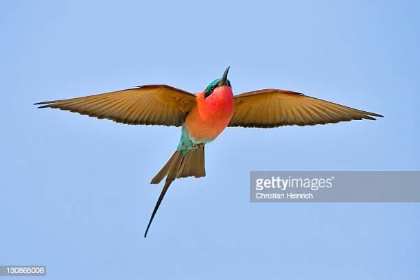 Carmin Bee-eaters (Merops nubicoides), Caprivi Strip, Zambezi, Namibia, Africa