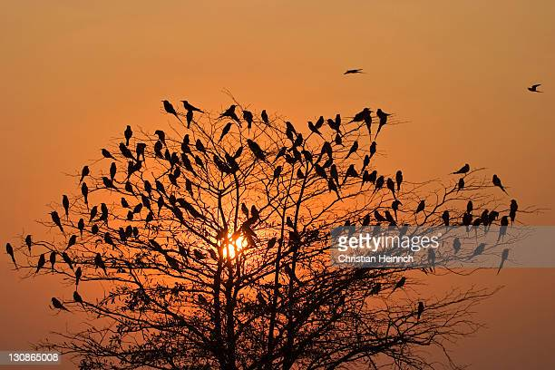 Carmine Bee-eaters, (Merops nubicoides) in a tree at sunset, Caprivi Strip, Zambezi, Namibia, Africa