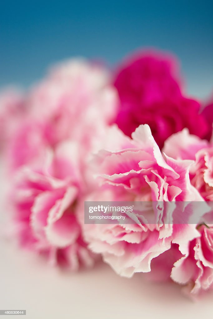 Carnation : Stock Photo