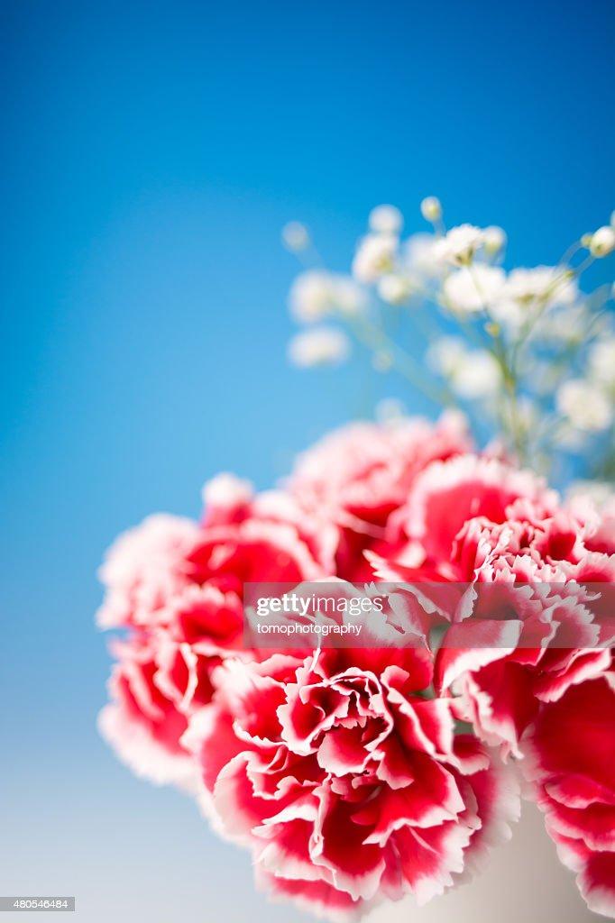 Carnation : Stock Photo