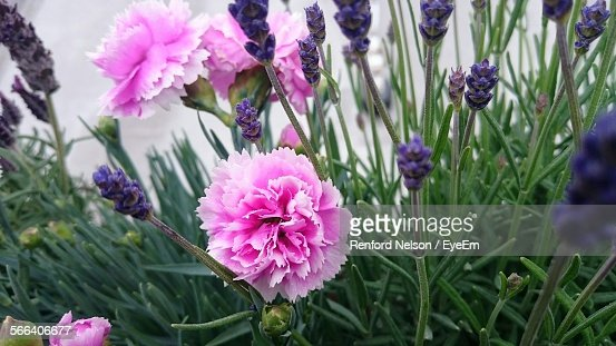 Carnations And Lavenders Growing On Field
