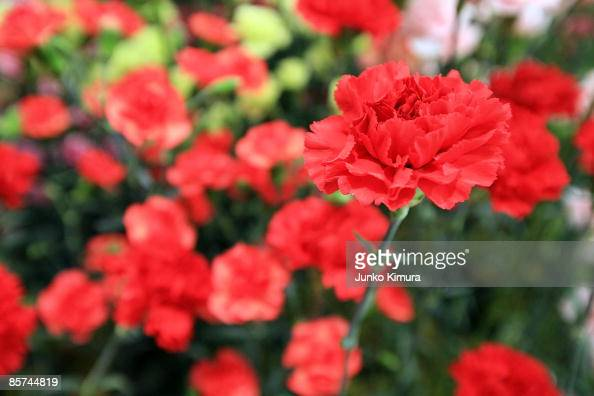 3000 carnations are displayed at Sony building on April 1 2009 in Tokyo Japan Carnation production in Japan started in 1909 when a florist brought...