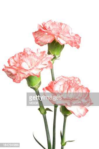 Carnations.