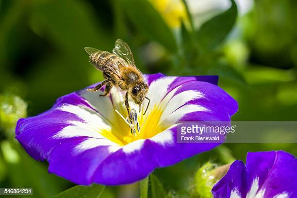 Carniolan honey bee is collecting nectar at a Dwarf morningglory blossom