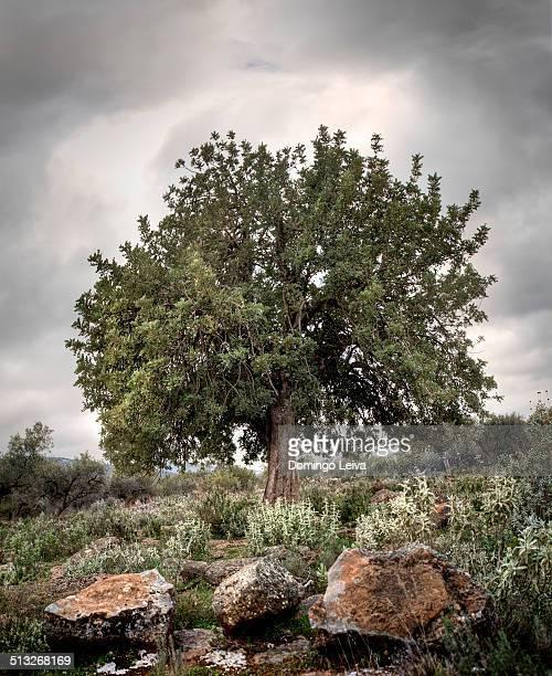 Carob in Sierra de Gador, Almería, Spain