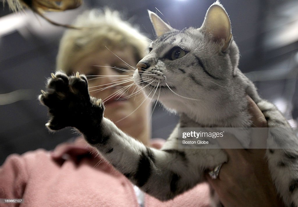 Carol Babel of Bethel NH lets her Silver Egyptian Mau Modani choose a toy during The Damn Yankees and Cats Incredible cat show on September 14 2013...