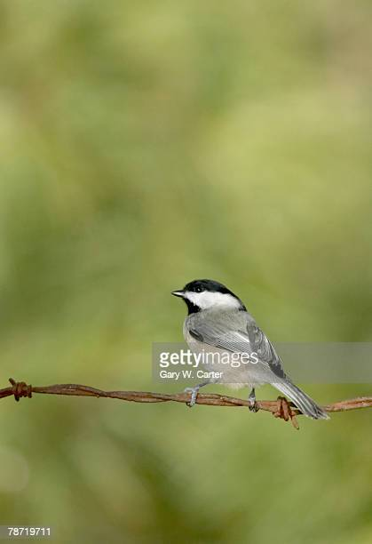 Carolina Chickadee on Barbed Wire