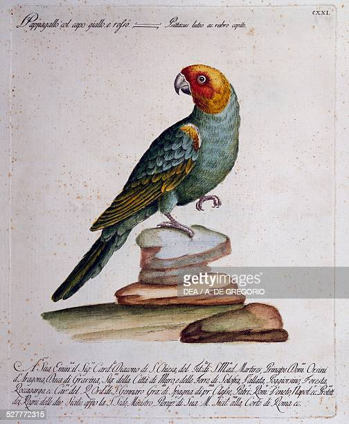 Carolina Parakeet colored engraving from the History of the Birds table 121 Milan Museo Civico Di Storia Naturale