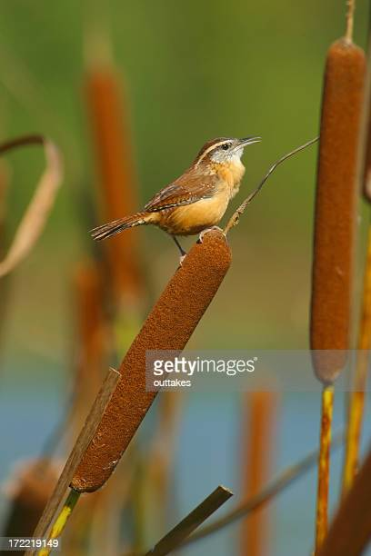 Carolina Wren perched within a bunch of cattails in a lake